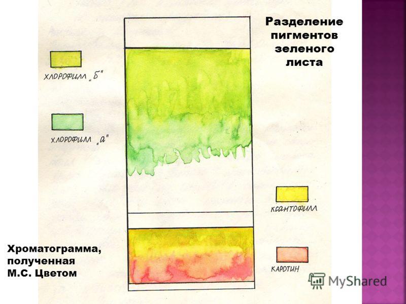 Хроматограмма, полученная М.С. Цветом Разделение пигментов зеленого листа