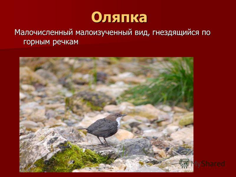 Оляпка Оляпка Малочисленный малоизученный вид, гнездящийся по горным речкам