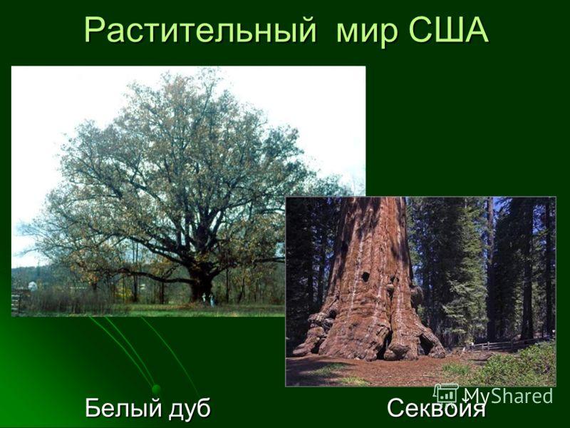 Растительный мир США Белый дуб Секвойя Белый дуб Секвойя