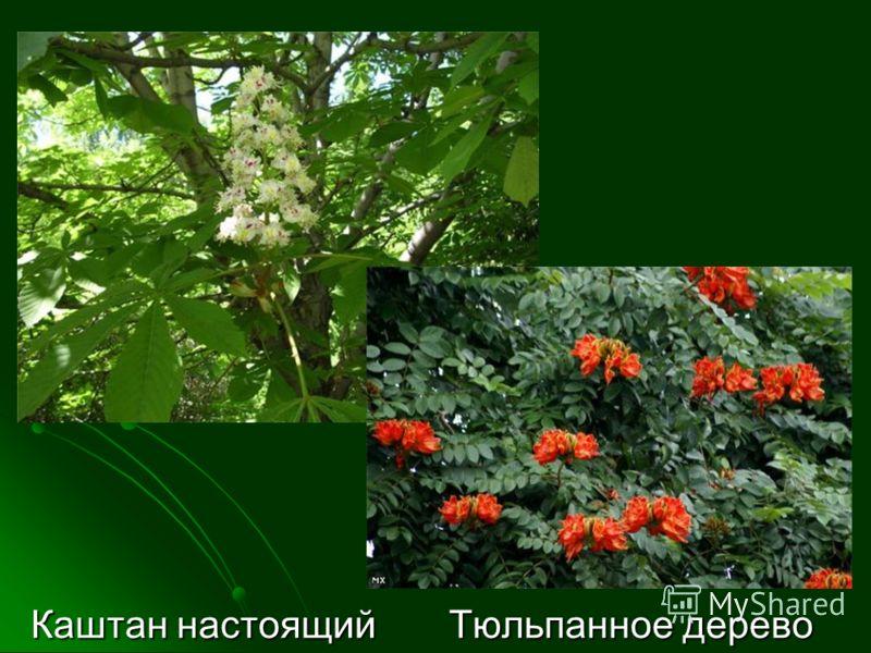 Каштан настоящий Тюльпанное дерево Каштан настоящий Тюльпанное дерево