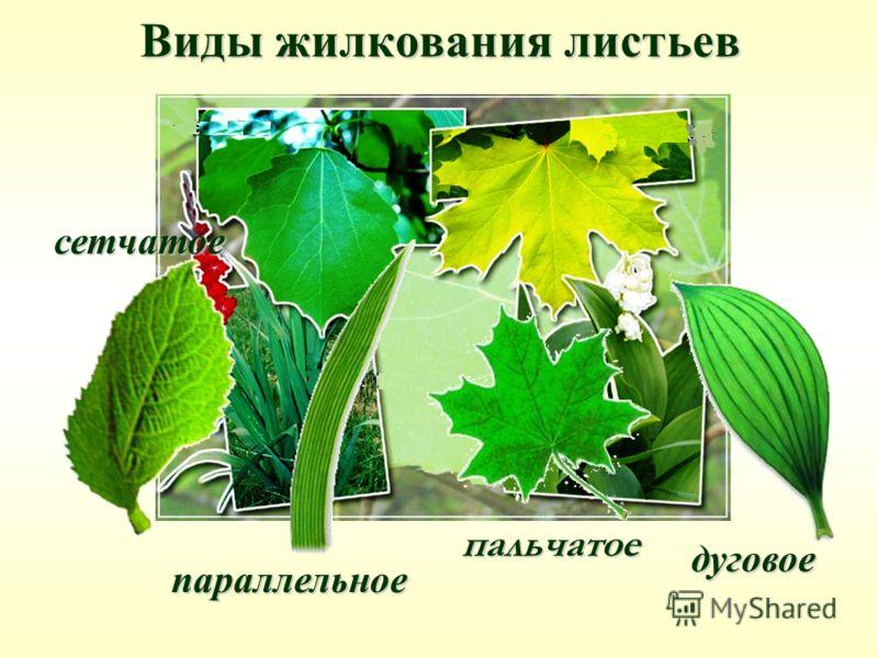 Виды жилкования листьев параллельное дуговое сетчатое пальчатое