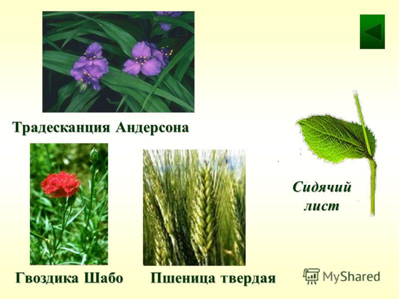 Гвоздика Шабо Традесканция Андерсона Пшеница твердая Сидячий лист