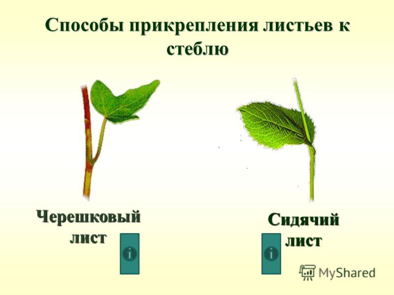 Черешковый лист Сидячий лист Способы прикрепления листьев к стеблю