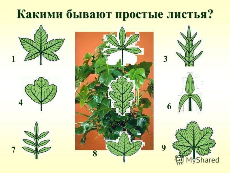 Какими бывают простые листья? 21 4 3 65 8 7 9