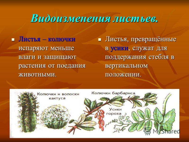 Видоизменения листьев. Листья – колючки испаряют меньше влаги и защищают растения от поедания животными. Листья – колючки испаряют меньше влаги и защищают растения от поедания животными. Листья, превращённые в усики, служат для поддержания стебля в в