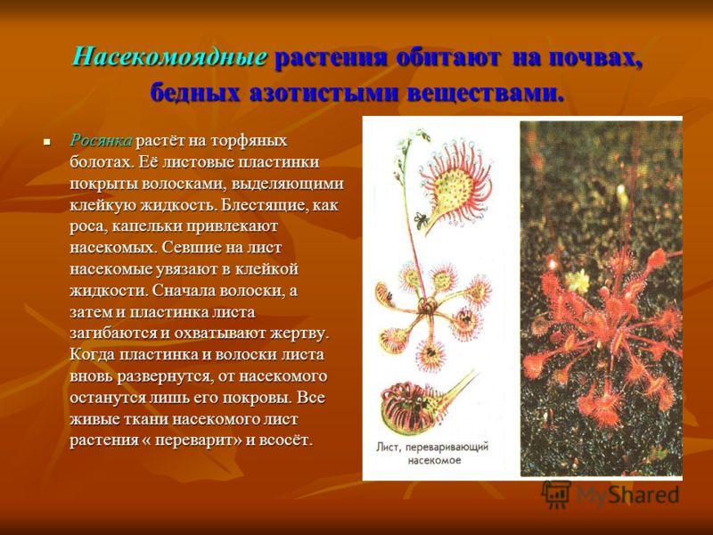 Насекомоядные растения обитают на почвах, бедных азотистыми веществами. Росянка растёт на торфяных болотах. Её листовые пластинки покрыты волосками, выделяющими клейкую жидкость. Блестящие, как роса, капельки привлекают насекомых. Севшие на лист насе