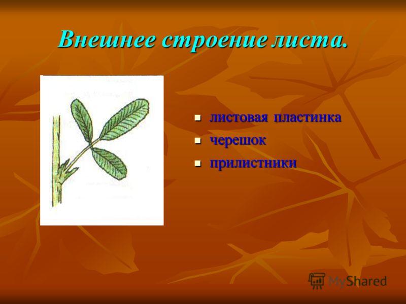 Внешнее строение листа. листовая пластинка листовая пластинка черешок черешок прилистники прилистники