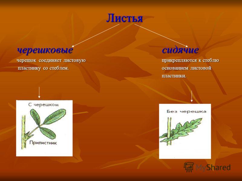 Листья Листья черешковые сидячие черешок соединяет листовую прикрепляются к стеблю пластинку со стеблем.основанием листовой пластинку со стеблем.основанием листовойпластинки.