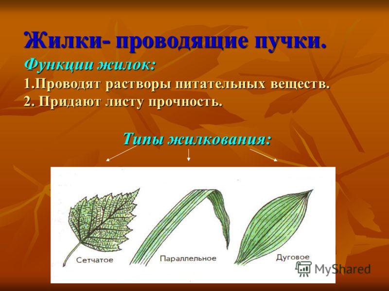 Жилки- проводящие пучки. Функции жилок: 1.Проводят растворы питательных веществ. 2. Придают листу прочность. Типы жилкования: