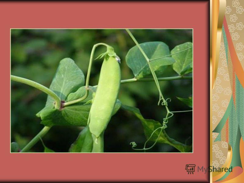 Необычные листья. Некоторые листья имеют необычную форму. Происходит это из-за того, что они осуществляют какую-то особую функцию. Догадайтесь какую?