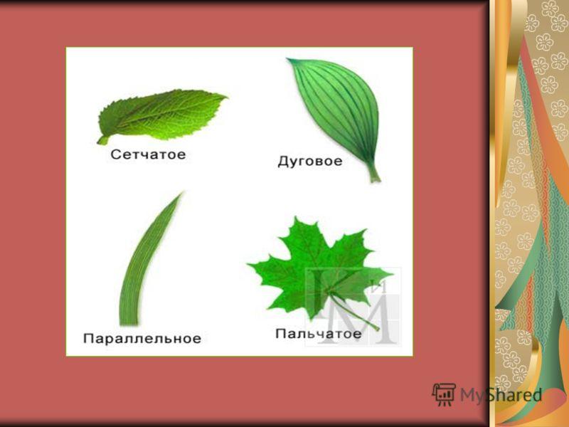 Типы жилкования листьев. По каждому листу расходятся жилки- это проводящие элементы и механические волокна листа. Но проходить они могут по-разному.