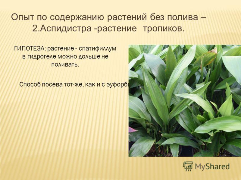 ГИПОТЕЗА: растение - спатифиллум в гидрогеле можно дольше не поливать. Способ посева тот-же, как и с эуфорбией. Опыт по содержанию растений без полива – 2.Аспидистра -растение тропиков.