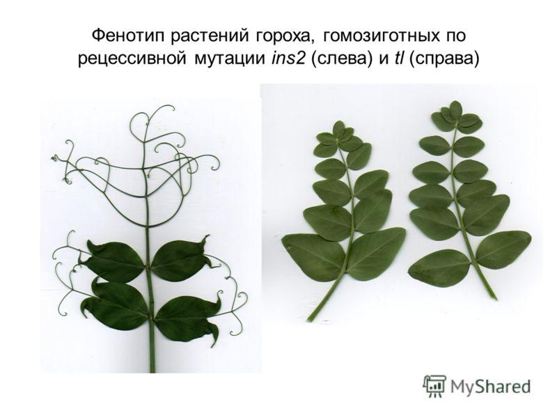 Фенотип растений гороха, гомозиготных по рецессивной мутации ins2 (слева) и tl (справа)