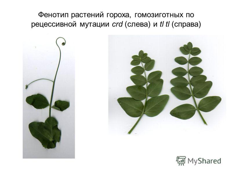 Фенотип растений гороха, гомозиготных по рецессивной мутации crd (слева) и tl tl (справа)