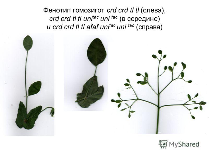 Фенотип гомозигот crd crd tl tl (слева), crd crd tl tl uni tac uni tac (в середине) и crd crd tl tl afaf uni tac uni tac (справа)