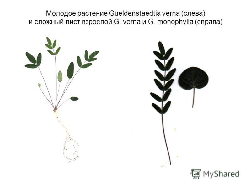Молодое растение Gueldenstaedtia verna (слева) и сложный лист взрослой G. verna и G. monophylla (справа)