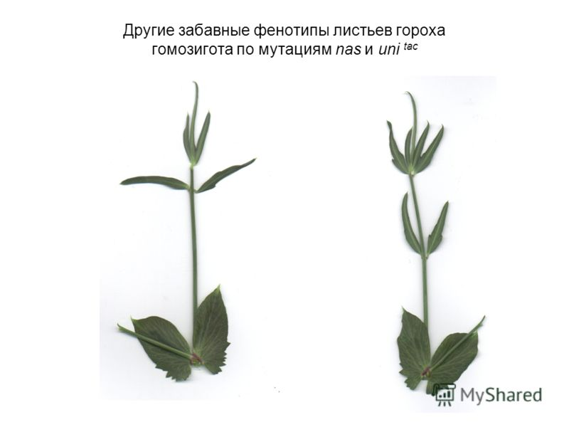 Другие забавные фенотипы листьев гороха гомозигота по мутациям nas и uni tac