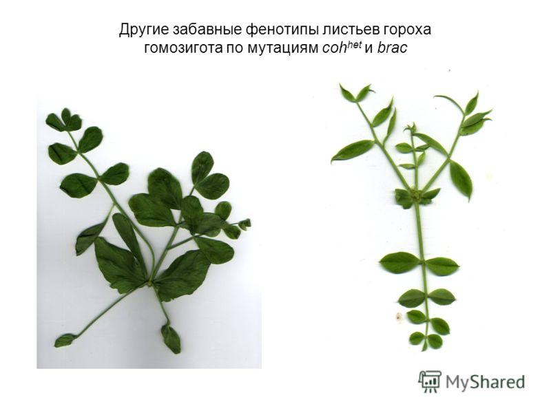 Другие забавные фенотипы листьев гороха гомозигота по мутациям coh het и brac