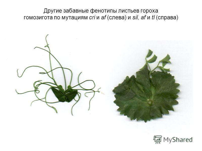 Другие забавные фенотипы листьев гороха гомозигота по мутациям cri и af (слева) и sil, af и tl (справа)