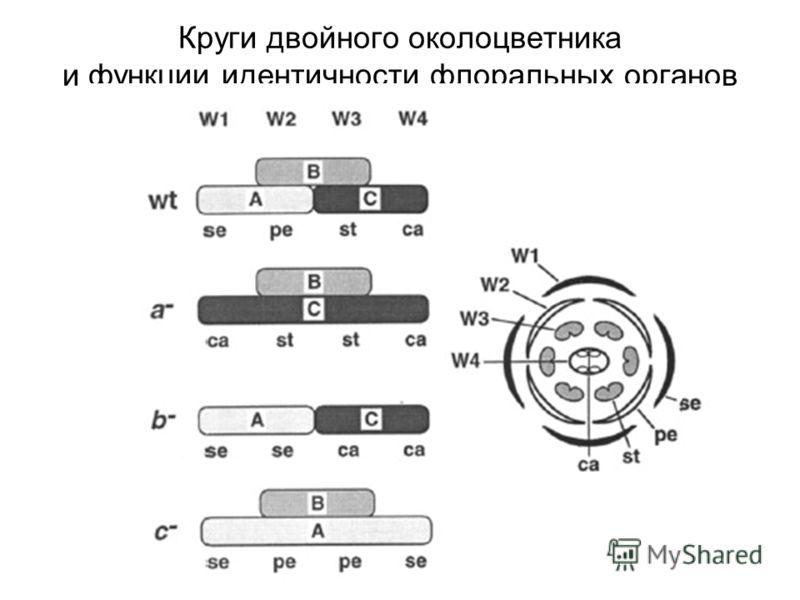 Круги двойного околоцветника и функции идентичности флоральных органов
