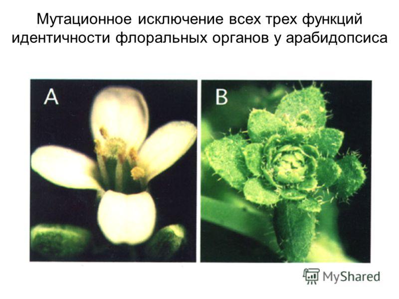 Мутационное исключение всех трех функций идентичности флоральных органов у арабидопсиса