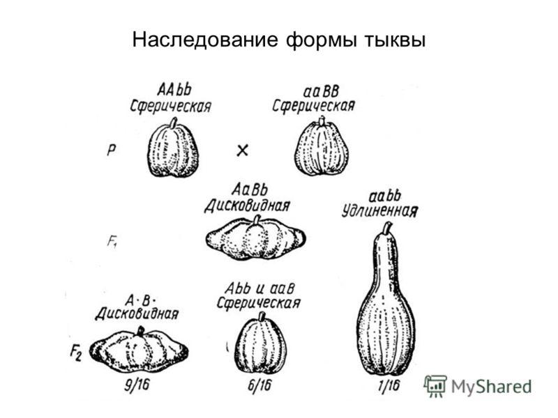 Наследование формы тыквы