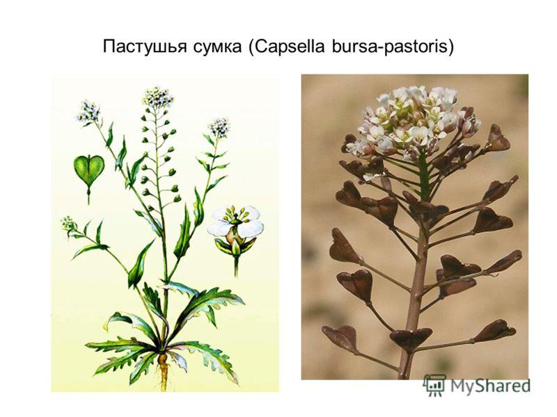 Пастушья сумка (Capsella bursa-pastoris)