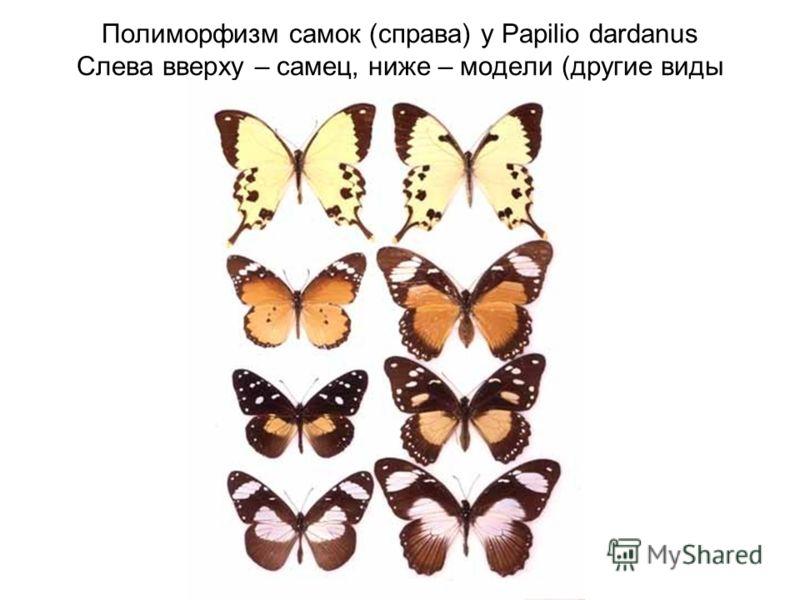 Полиморфизм самок (справа) у Papilio dardanus Слева вверху – самец, ниже – модели (другие виды