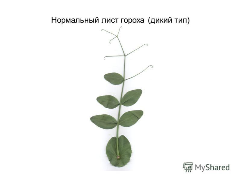 Нормальный лист гороха (дикий тип)