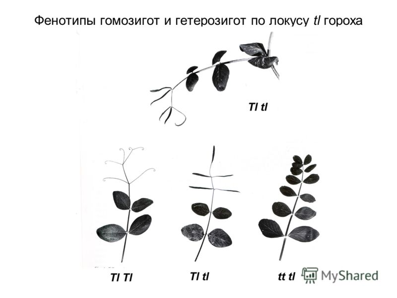 Фенотипы гомозигот и гетерозигот по локусу tl гороха