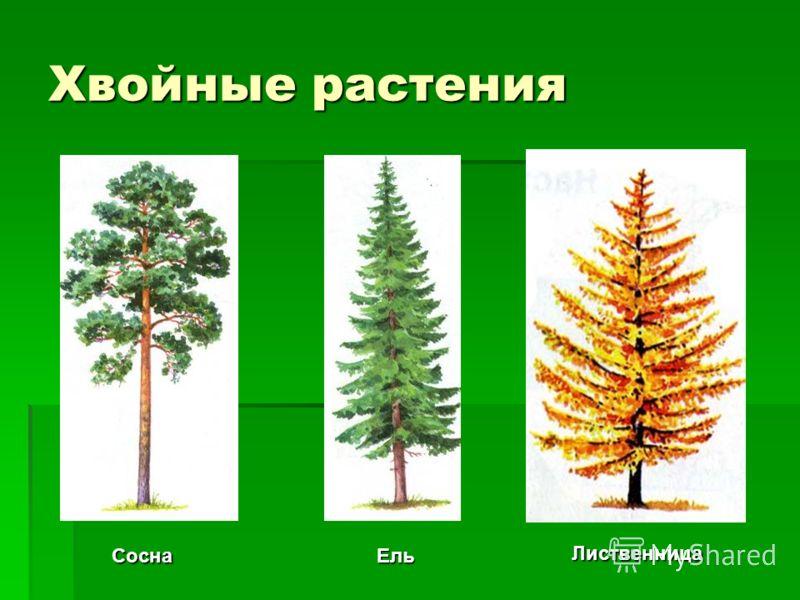 Хвойные растения ЛиственницаСоснаЕль