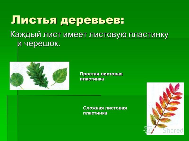 Листья деревьев: Каждый лист имеет листовую пластинку и черешок. Простая листовая пластинка Сложная листовая пластинка