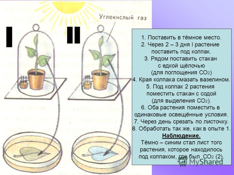 1. Поставить в тёмное место. 2. Через 2 – 3 дня I растение поставить под колпак. 3. Рядом поставить стакан с едкой щёлочью (для поглощения СО 2 ) 4. Края колпака смазать вазелином. 5. Под колпак 2 растения поместить стакан с содой (для выделения СО 2