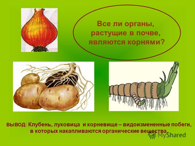 Все ли органы, растущие в почве, являются корнями? ВЫВОД: Клубень, луковица и корневище – видоизмененные побеги, в которых накапливаются органические вещества.