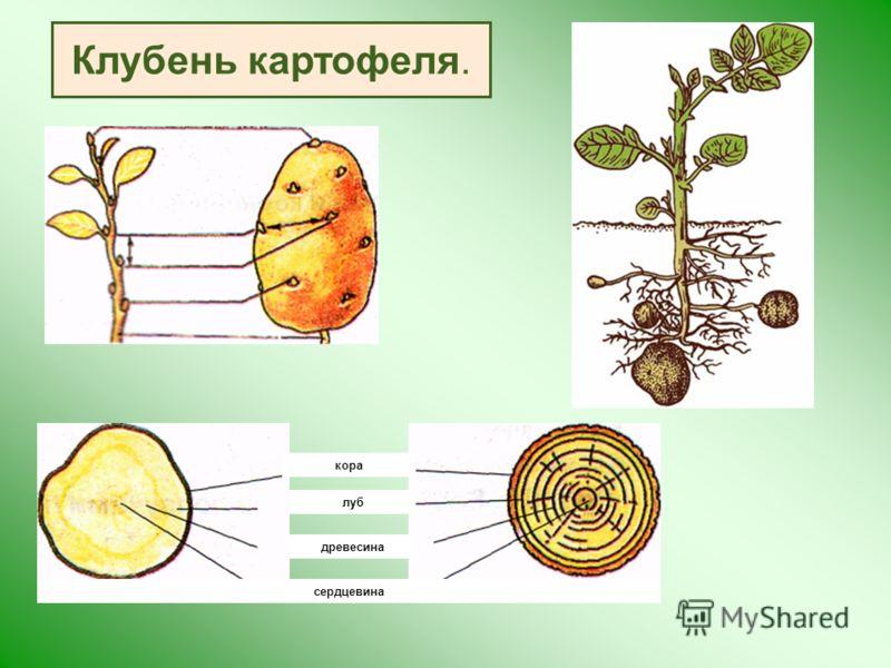 кора луб древесина сердцевина Клубень картофеля.