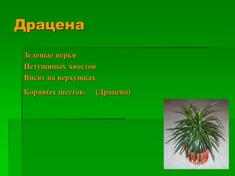 Зеленые перья Петушиных хвостов Висят на верхушках Корявых шестов. (Драцена) Драцена