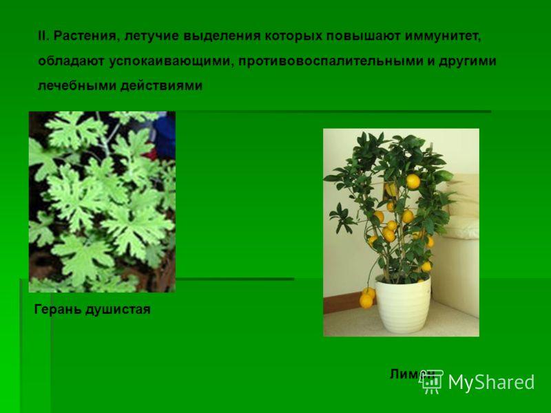 II. Растения, летучие выделения которых повышают иммунитет, обладают успокаивающими, противовоспалительными и другими лечебными действиями Герань душистая Лимон