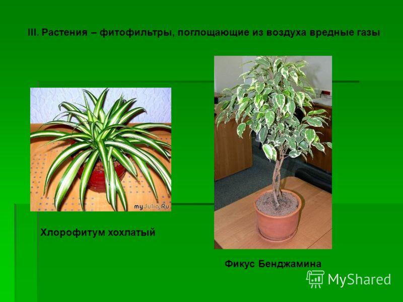 III. Растения – фитофильтры, поглощающие из воздуха вредные газы Хлорофитум хохлатый Фикус Бенджамина