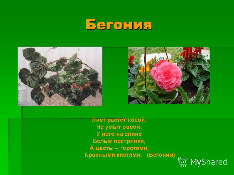 Бегония Бегония Лист растет косой, Не умыт росой; У него на спине Белые пестринки, А цветы – горстями, Красными кистями. (Бегония)