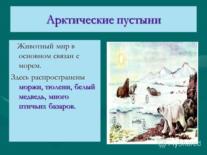 Арктические пустыни Животный мир в основном связан с морем. Животный мир в основном связан с морем. Здесь распространены моржи, тюлени, белый медведь, много птичьих базаров.
