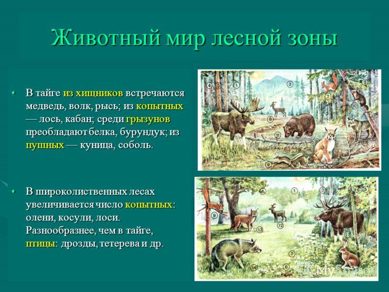 Животный мир лесной зоны В тайге из хищников встречаются медведь, волк, рысь; из копытных лось, кабан; среди грызунов преобладают белка, бурундук; из пушных куница, соболь.В тайге из хищников встречаются медведь, волк, рысь; из копытных лось, кабан;