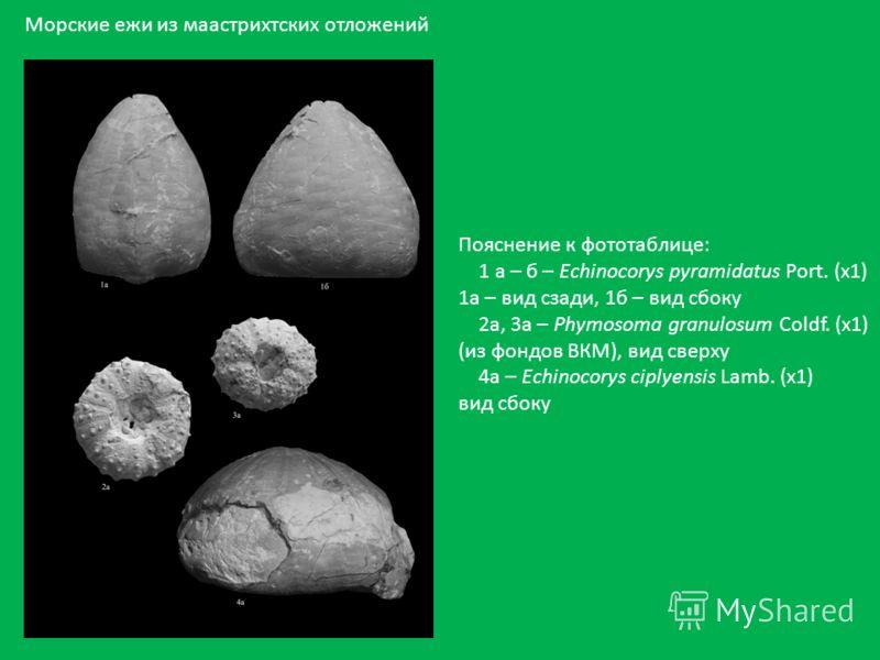 Пояснение к фототаблице: 1 а – б – Echinocorys pyramidatus Port. (х1) 1а – вид сзади, 1б – вид сбоку 2а, 3а – Phymosoma granulosum Coldf. (x1) (из фондов ВКМ), вид сверху 4а – Echinocorys ciplyensis Lamb. (x1) вид сбоку Морские ежи из маастрихтских о