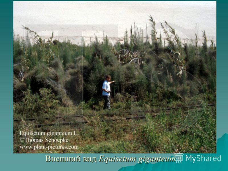 Внешний вид Equisetum giganteum