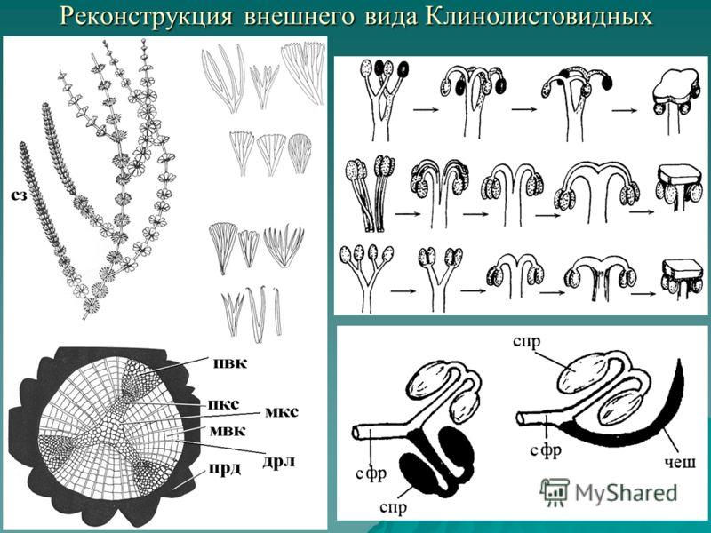 Реконструкция внешнего вида Клинолистовидных