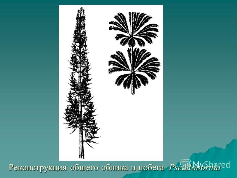 Реконструкция общего облика и побега Pseudobornia