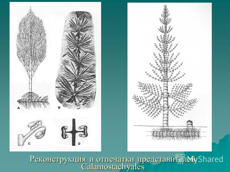 Реконструкция и отпечатки представителей Calamostachyales