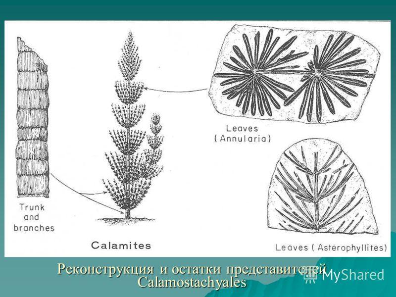 Реконструкция и остатки представителей Calamostachyales