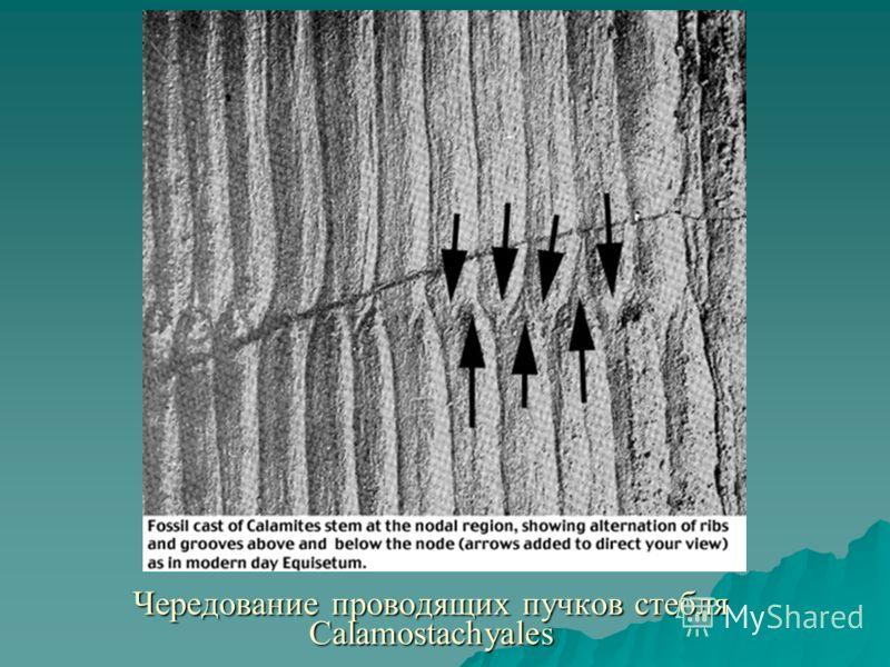 Чередование проводящих пучков стебля Calamostachyales