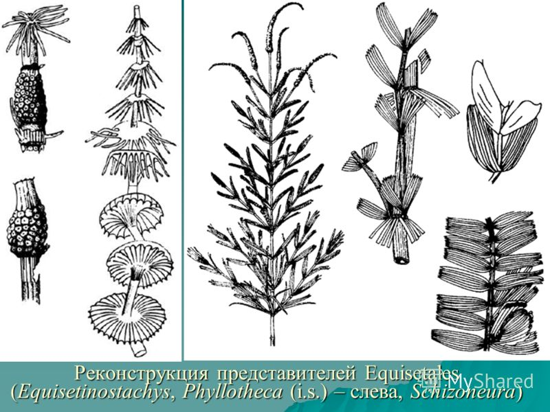 Реконструкция представителей Equisetales (Equisetinostachys, Phyllotheca (i.s.) – слева, Schizoneura)