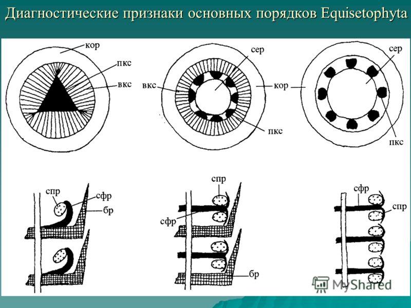 Диагностические признаки основных порядков Equisetophyta